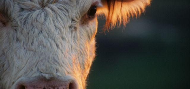 Angmering Park Estate cow closeup