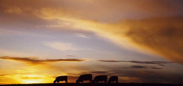 Angmering Park Estate cows sunset