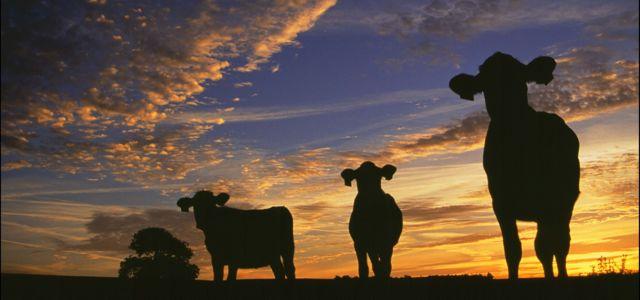 Angmering Park Estate cows closeup sunset