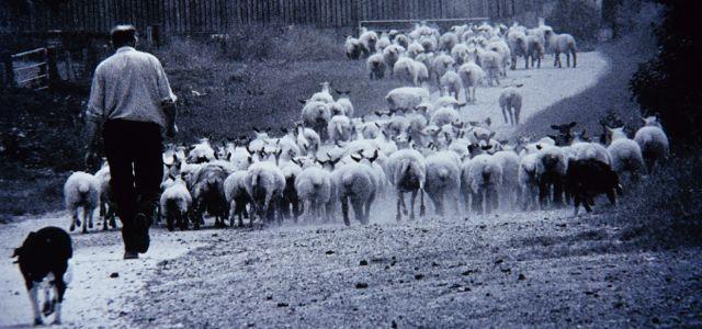 Angmering Park Estate sheep