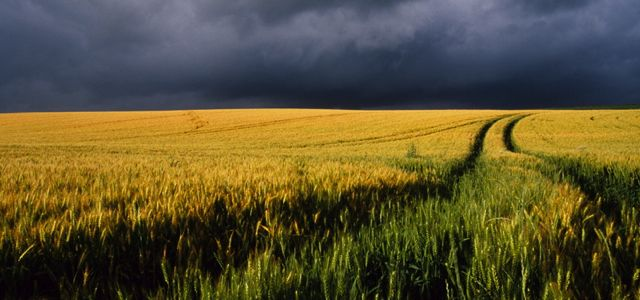 Angmering Park Estate farm wheat
