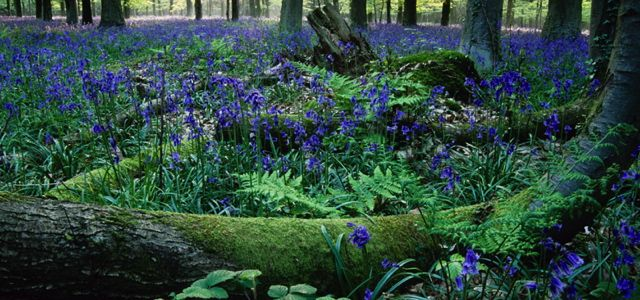 Angmering Park Estate woodlands bluebells